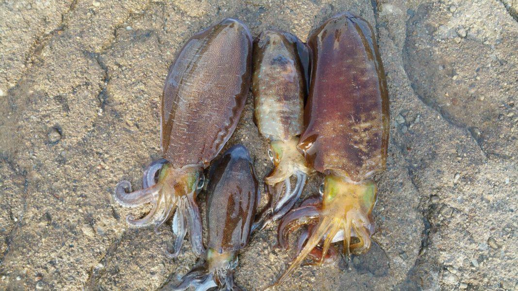 アオリイカ釣果報告 和歌山での微妙な結末