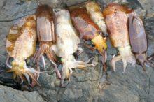 夏にアオリイカを釣るぞ!夏のアオリイカは釣り場選びが重要