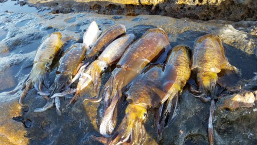 【アオリイカ釣りは簡単】時期と釣り場が合えば釣ったも同然です