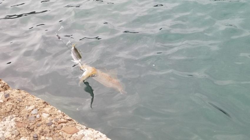 南紀へ夏イカを釣りにいこう!「海中では恋の季節が続いてる」